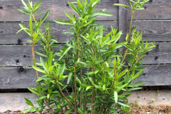 17-07-Oleander 01