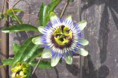 17-08-blaue Passionsblume 01