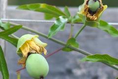 17-08-blaue Passionsblume 02
