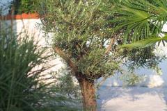 17-09-Olivenbaum 01