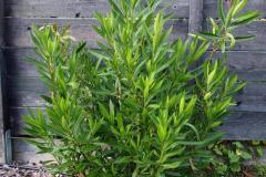17-09-Oleander 01