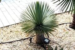18-09-Yucca rostrata 01