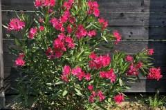 18-08-Oleander 01