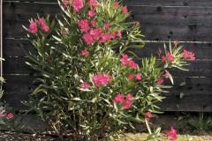 18-07-Oleander 02