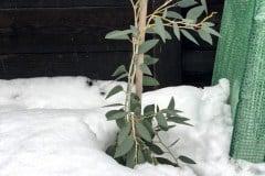 19-01-Schnee-Eukalyptus 01