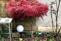 18-11-japanischer Blutfächerahorn 01