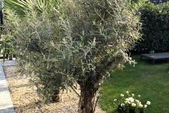 18-05-Olivenbaum 01
