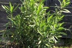 18-05-Oleander 01