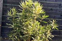 19-04-Oleander 01