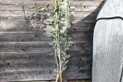 20-01-Schnee-Eukalyptus 01
