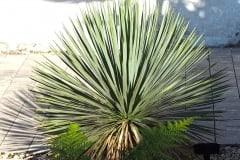 19-08-Yucca rostrata 02