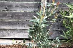 19-04-Schnee-Eukalyptus 01