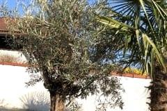 19-03-Olivenbaum 01