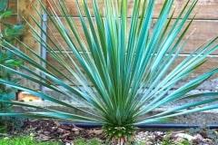 19-08-Yucca rostrata 03