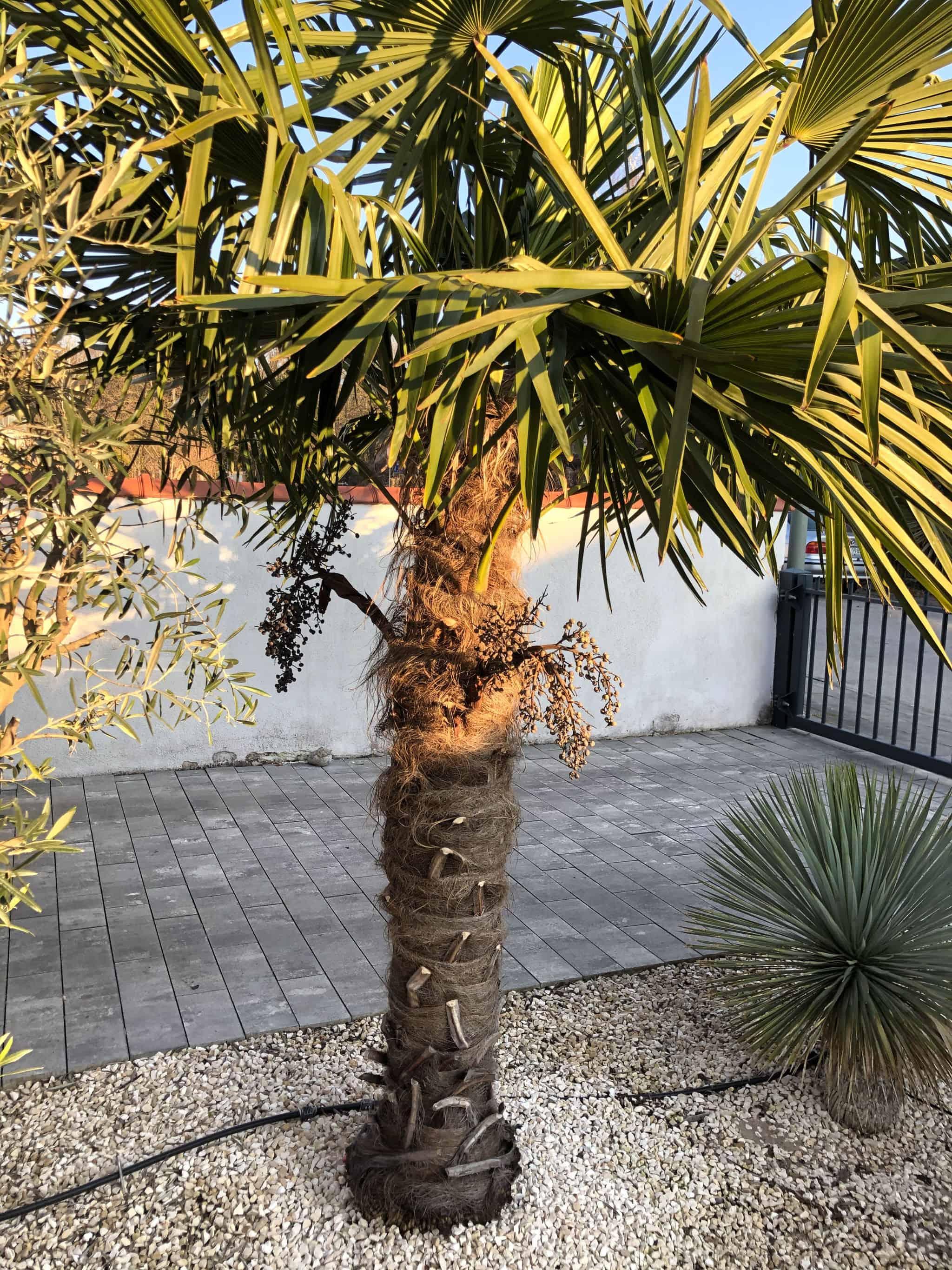 20-03-Trachycarpus Fortunei 01