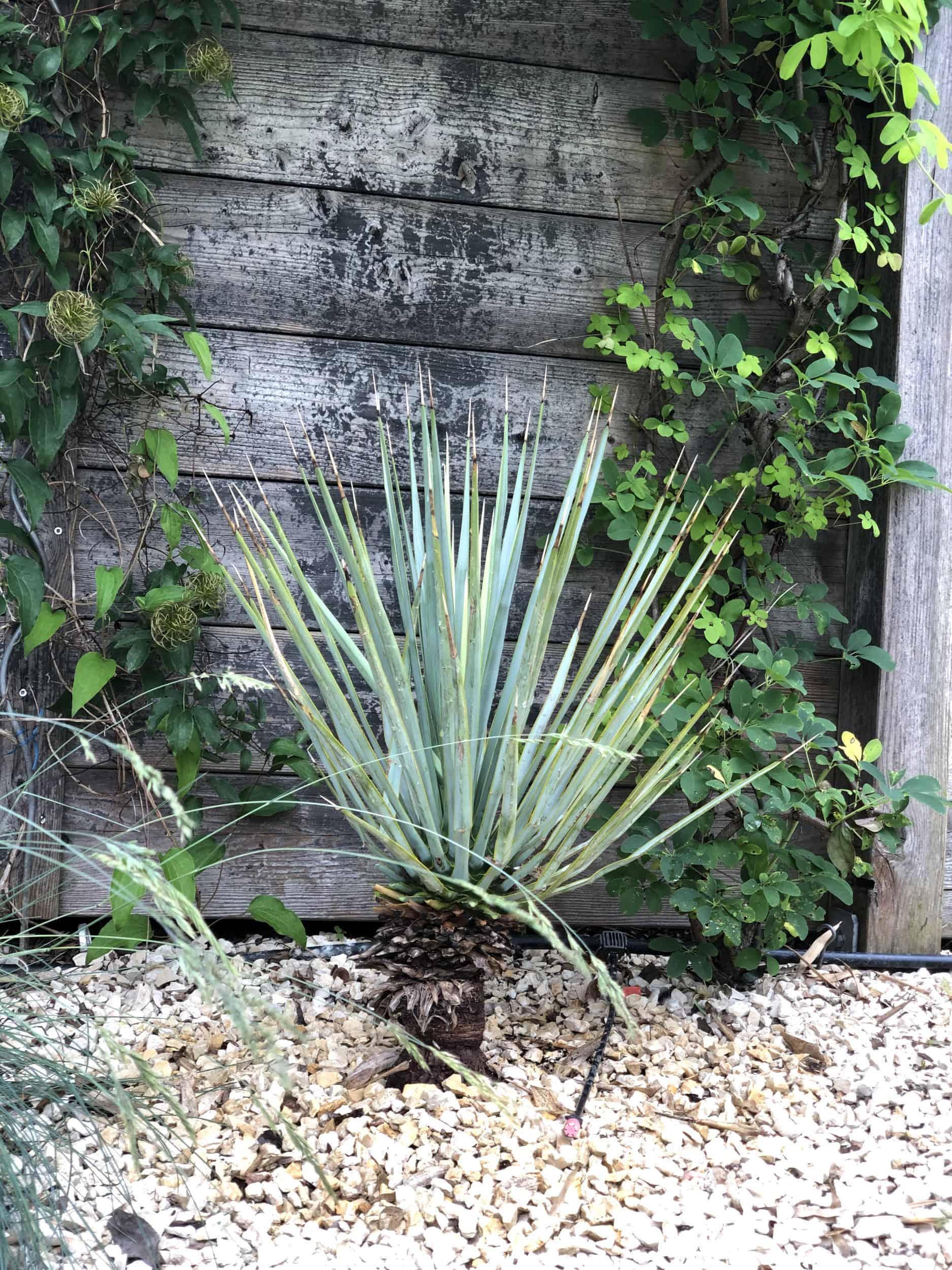 20-06-Yucca rigida 01