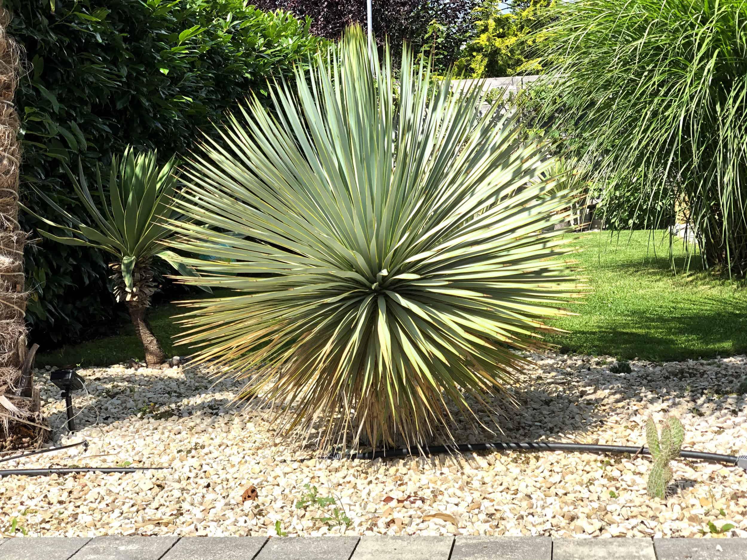 20-07-Yucca rostrata 02