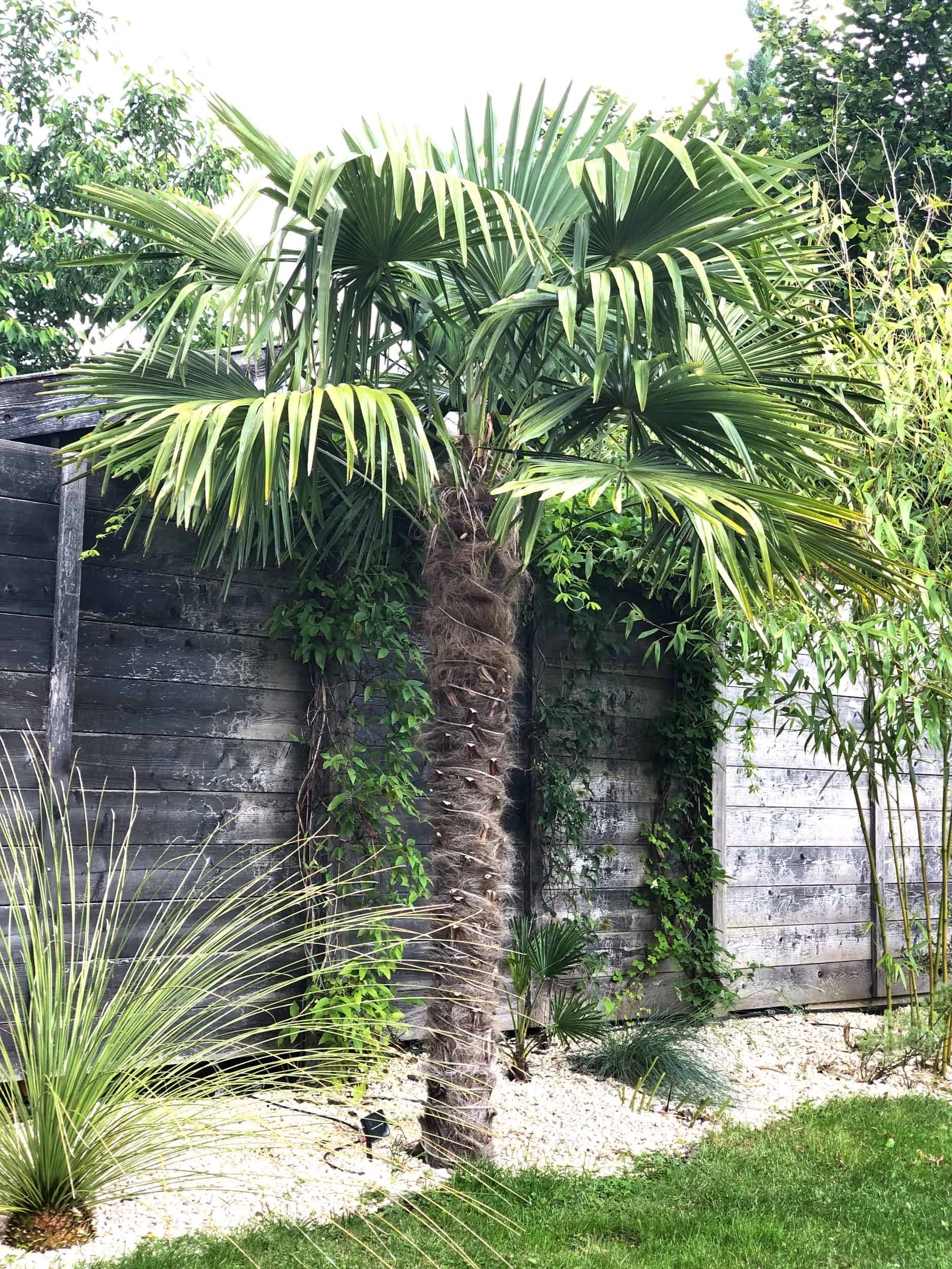20-06-Trachycarpus Fortunei 02