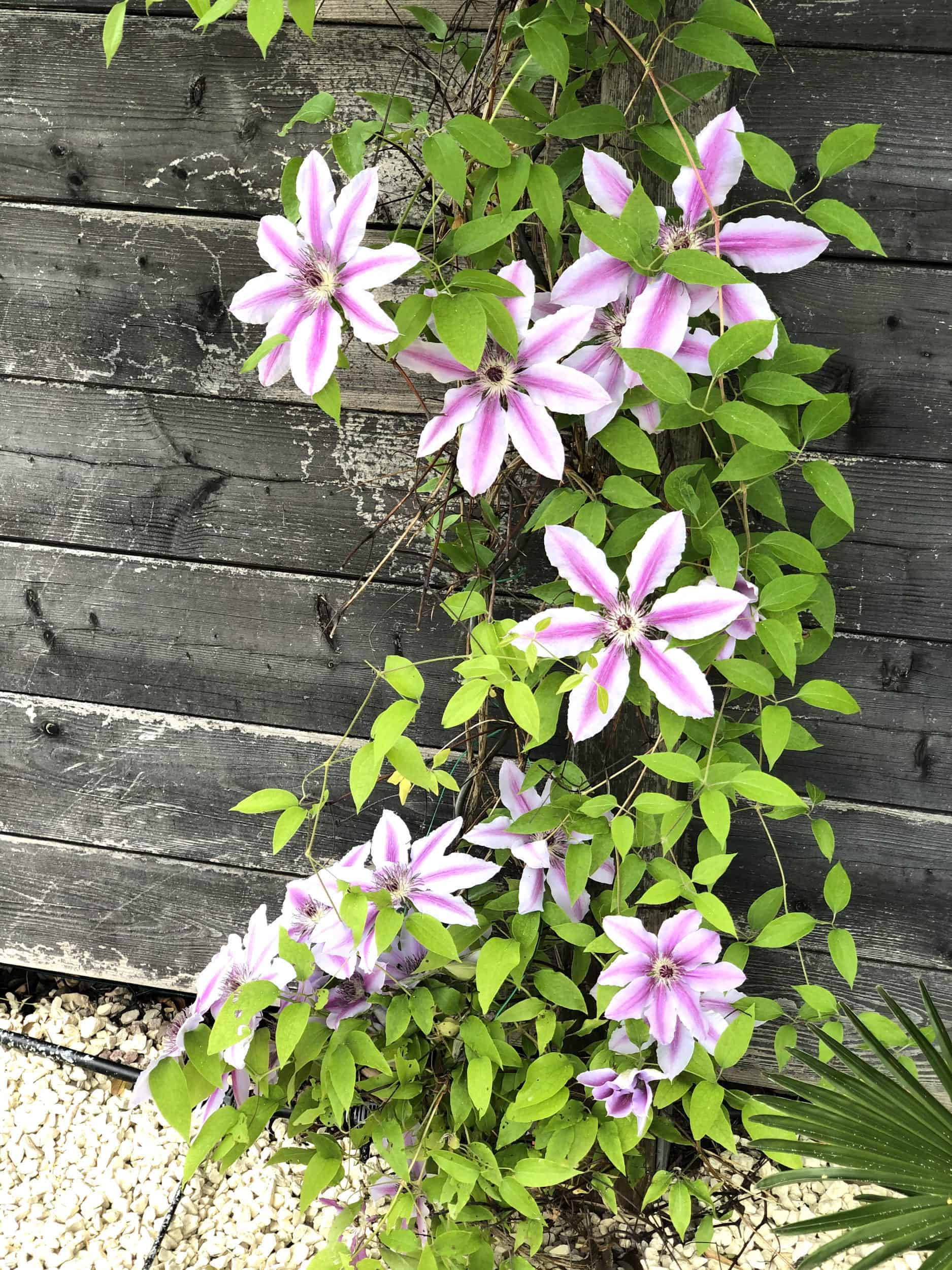 20-05-Clematis 'Nelly Moser' 01