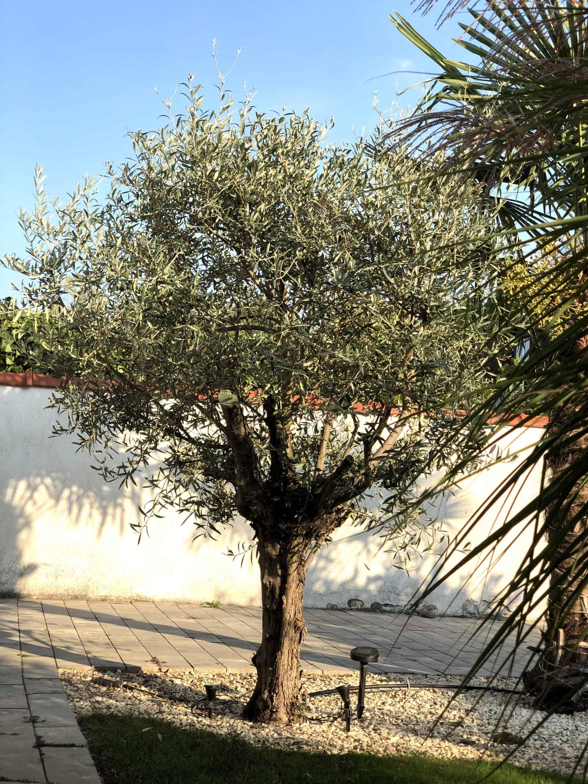 20-09-Olea europaea 'arbequina' 01