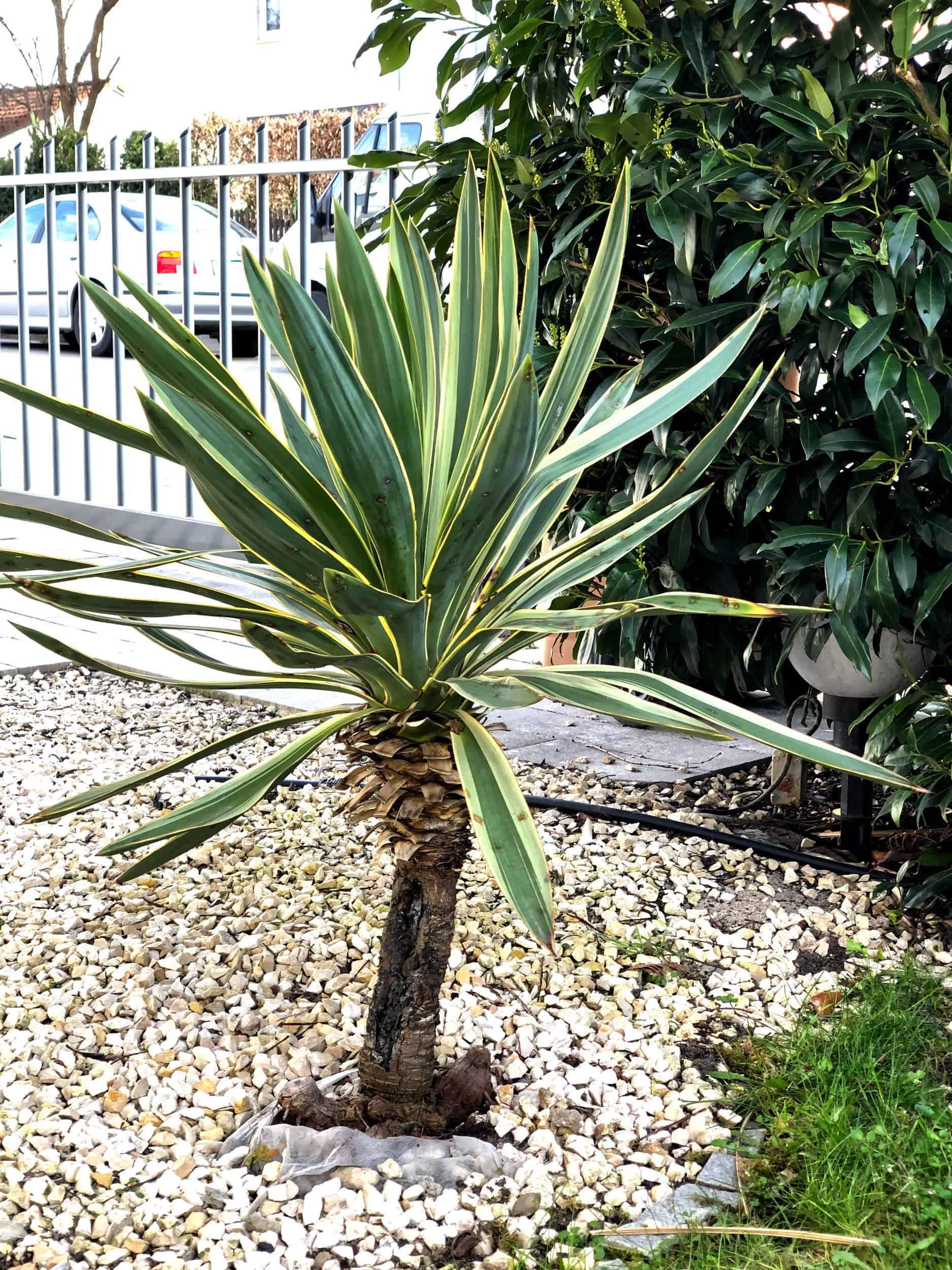20-03-Yucca gloriosa variegata 02
