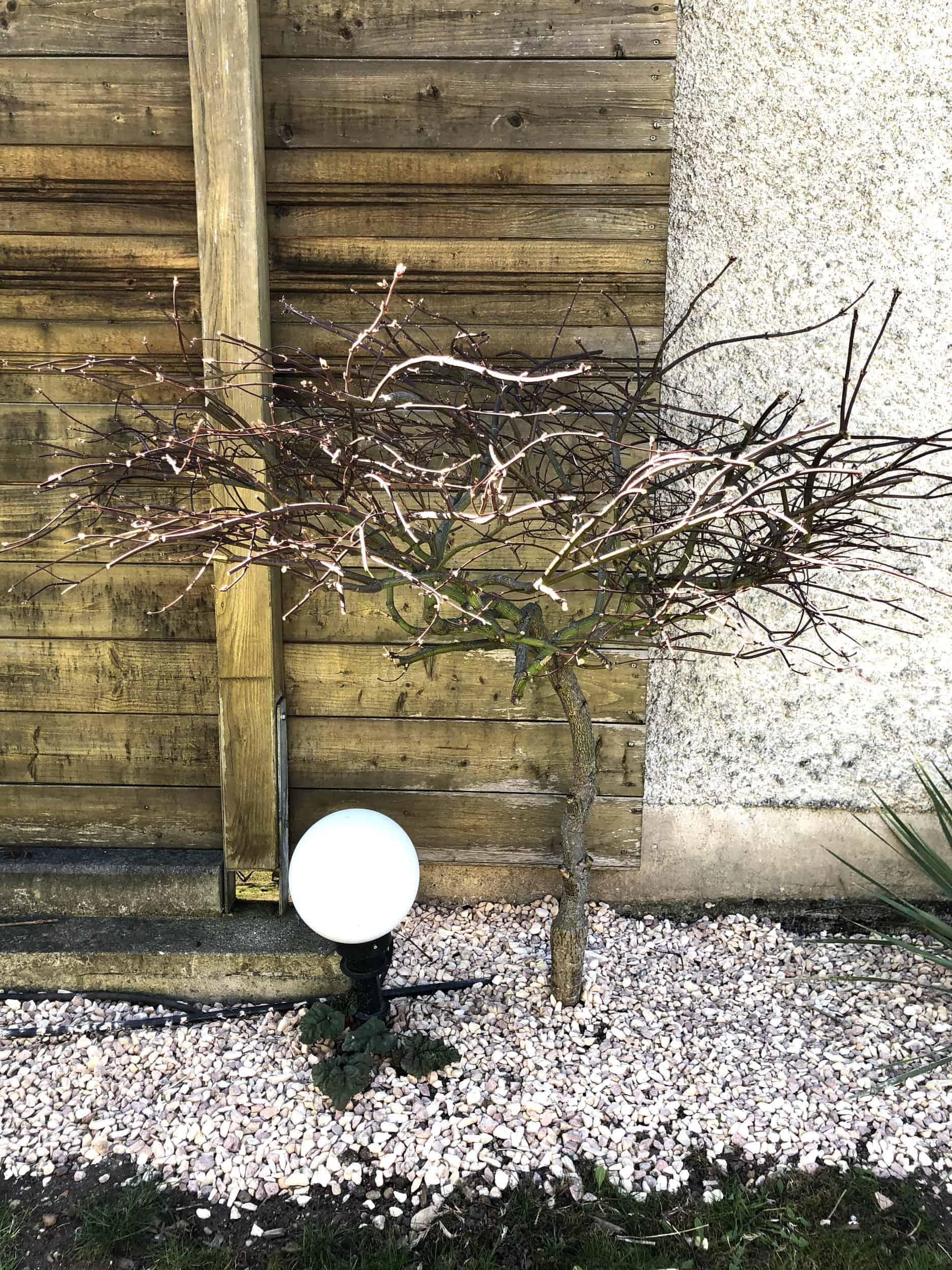 20-04-Acer palmatum 'atropurpureum' 01
