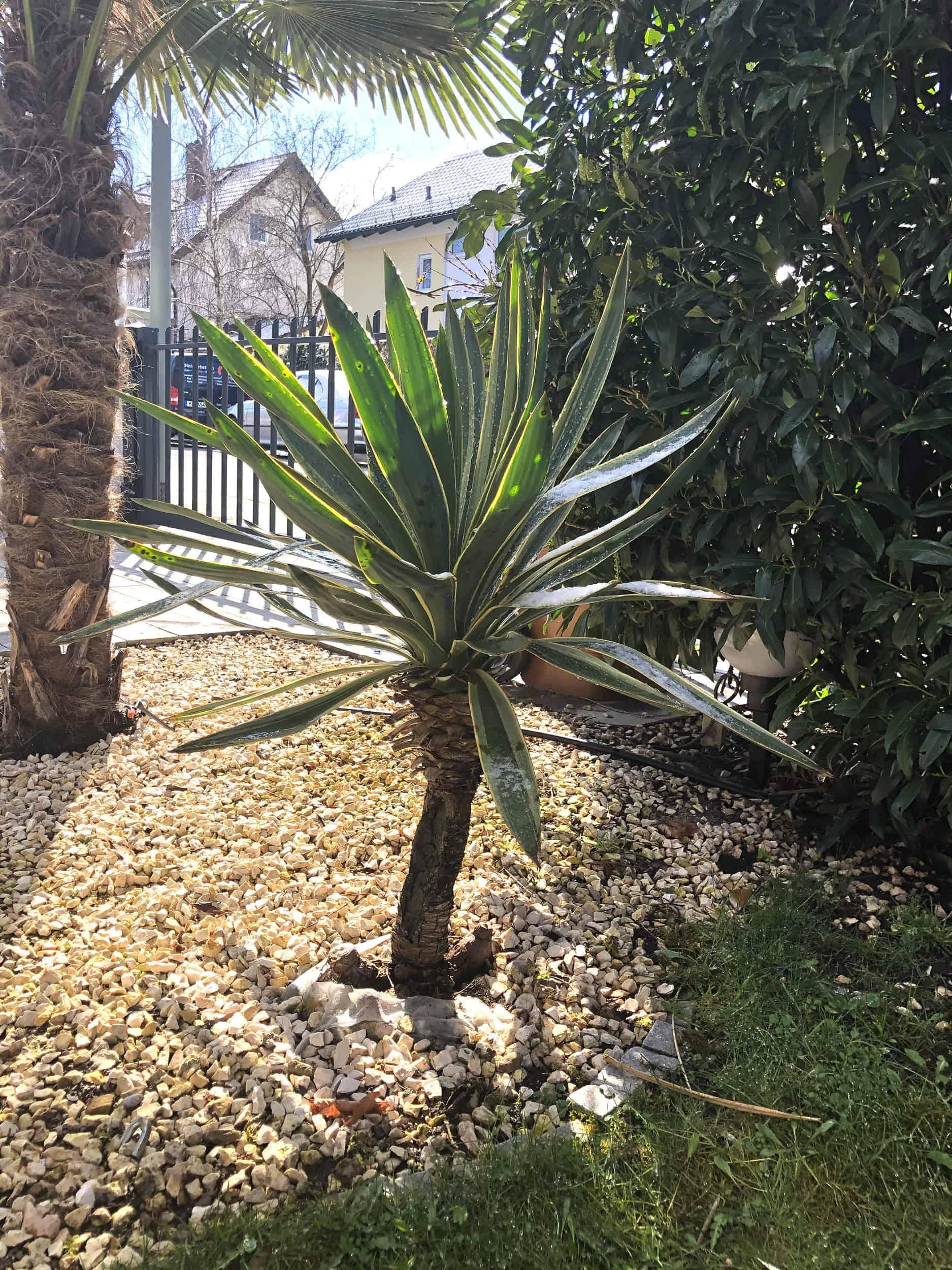 20-03-Yucca gloriosa variegata 01