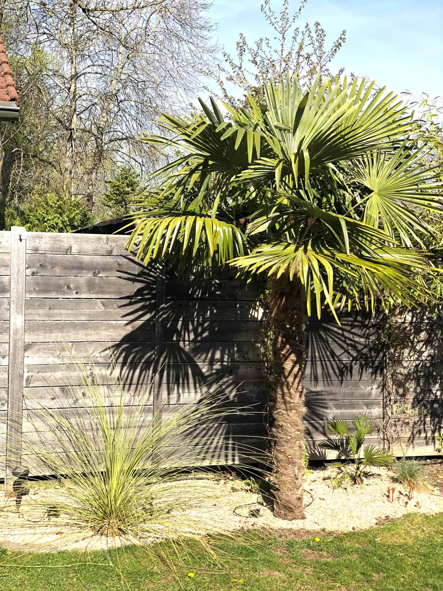 20-04-Trachycarpus Fortunei 02