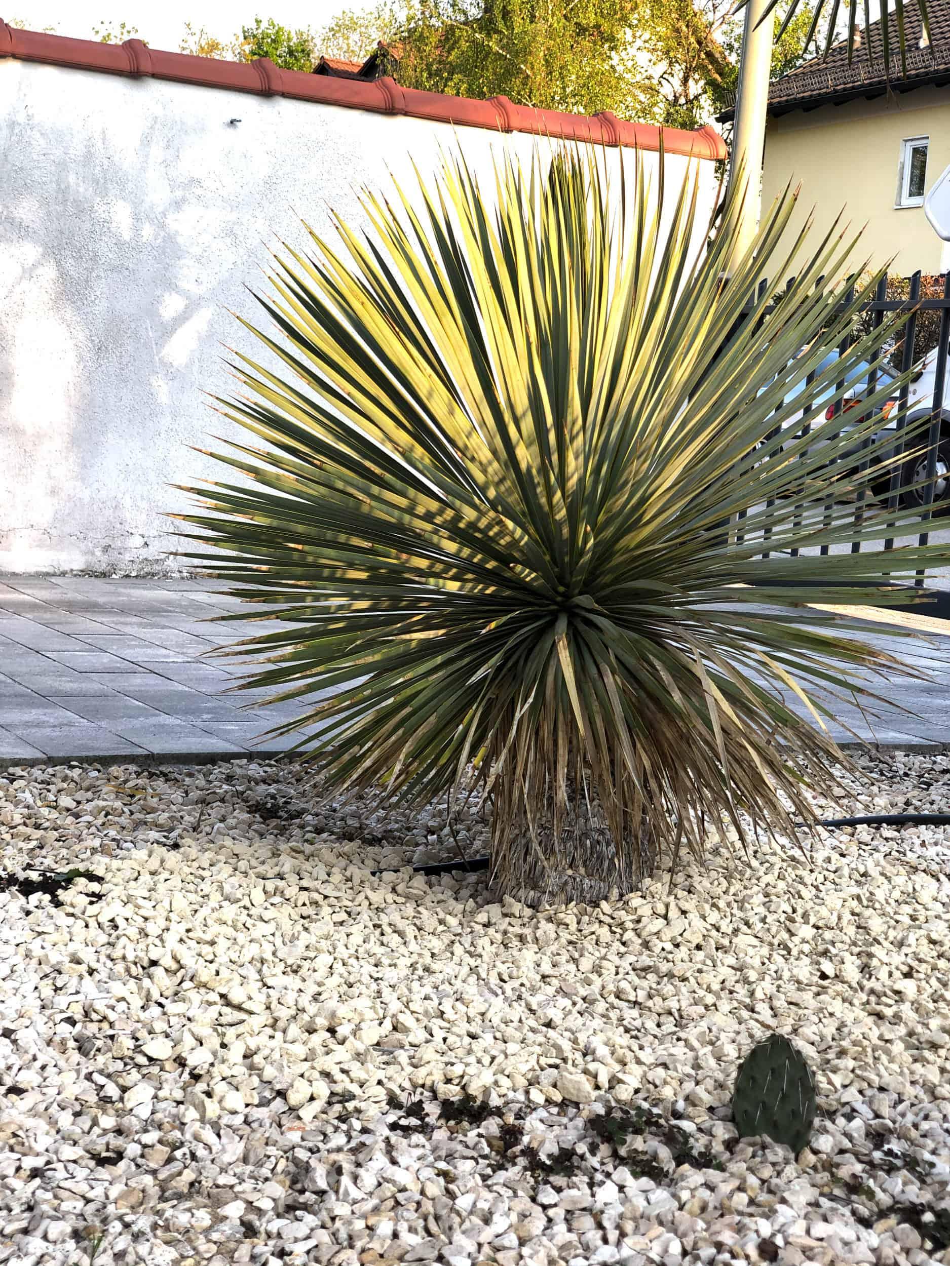 20-04-Yucca rostrata 02