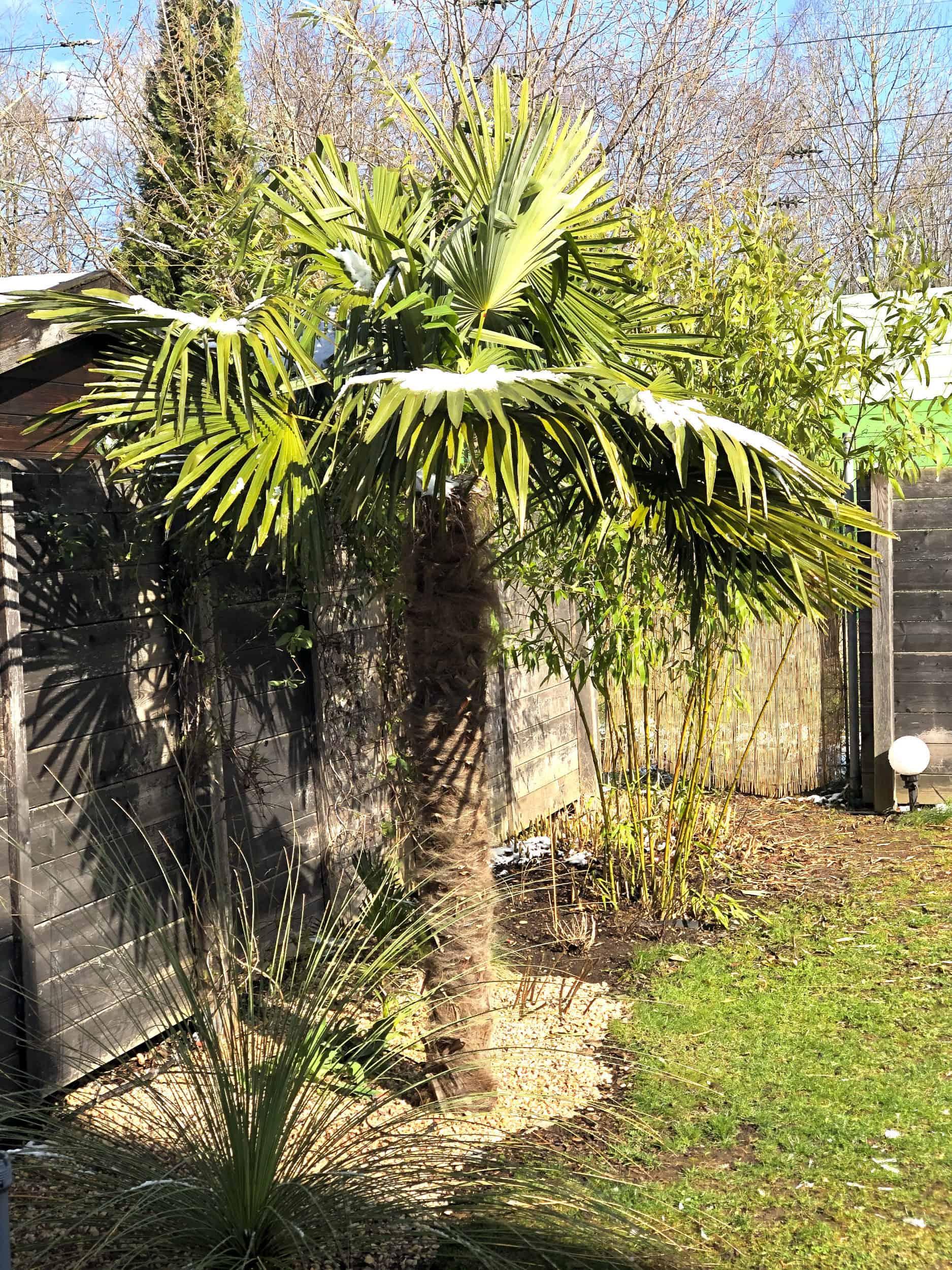 20-03-Trachycarpus Fortunei 03