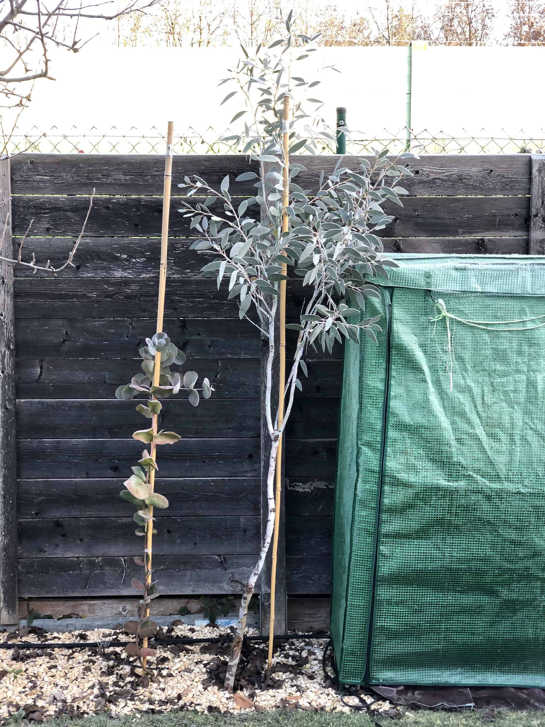 20-11-Eucalyptus pauciflora 01
