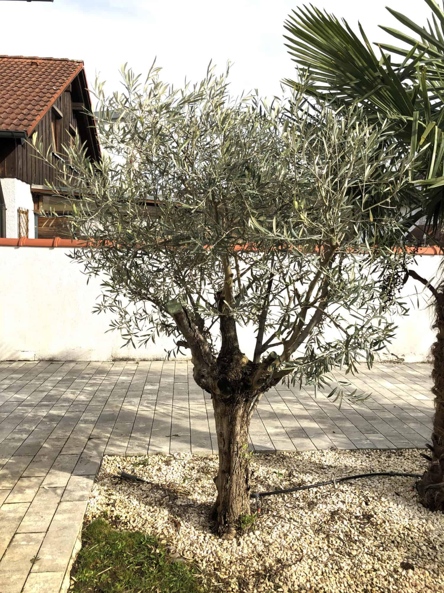 20-03-Olea europaea 'arbequina' 01
