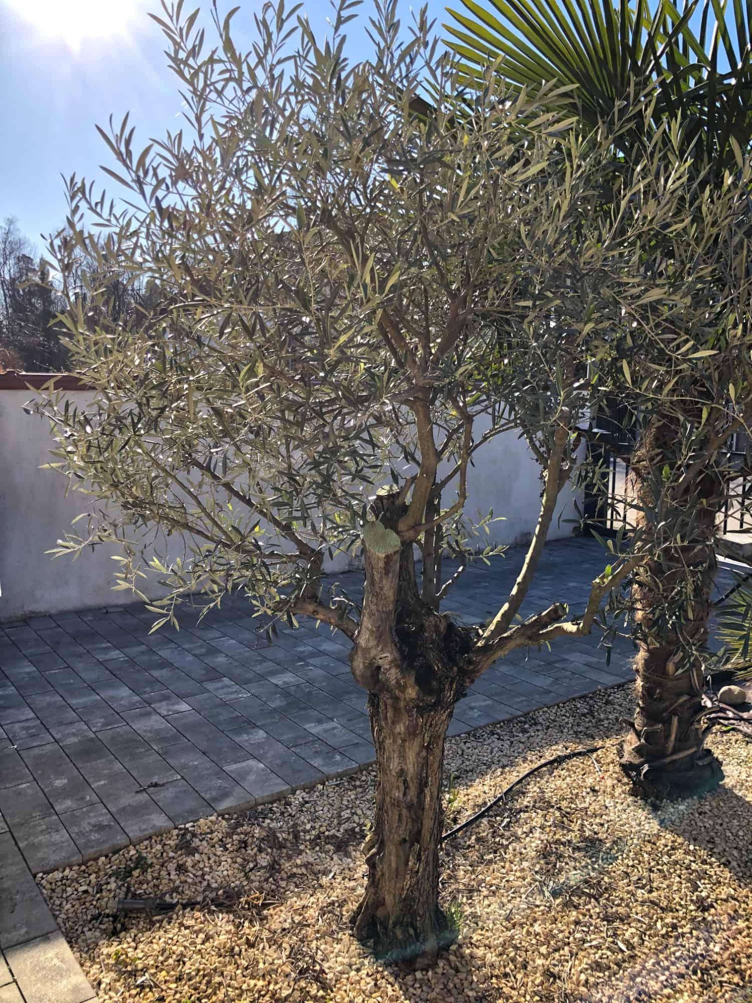 20-03-Olea europaea 'arbequina' 02