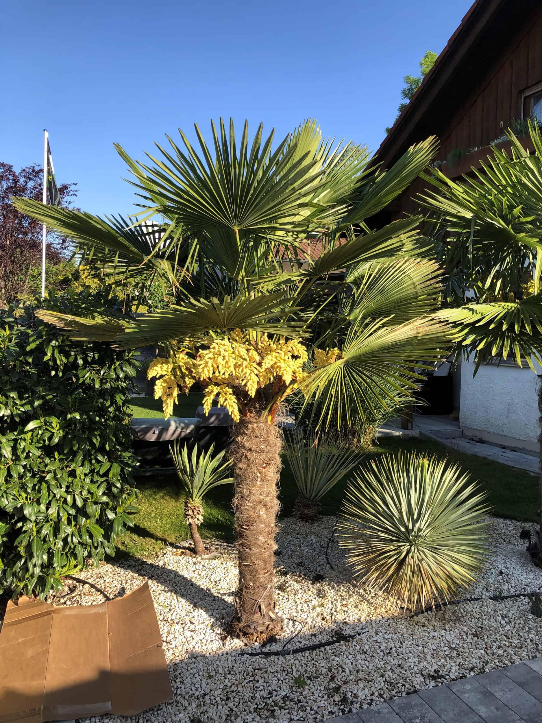 20-05-Trachycarpus Fortunei 02