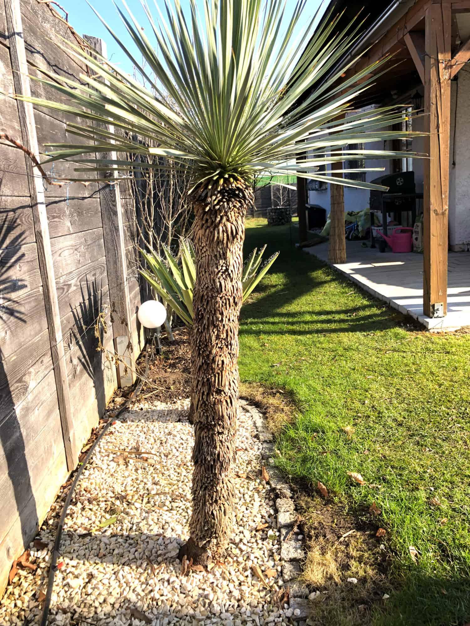 20-03-Yucca rostrata 01