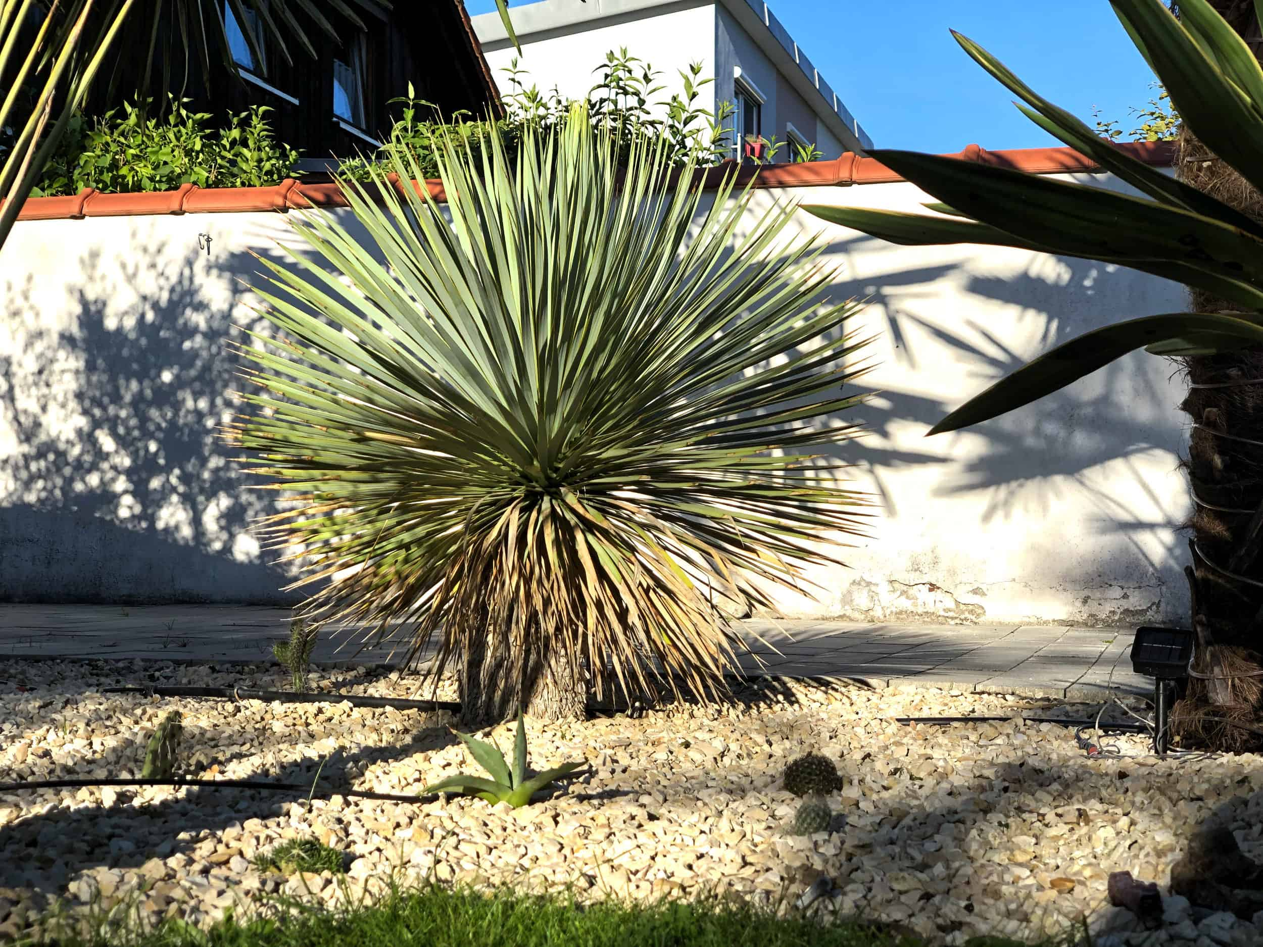20-07-Yucca rostrata 01