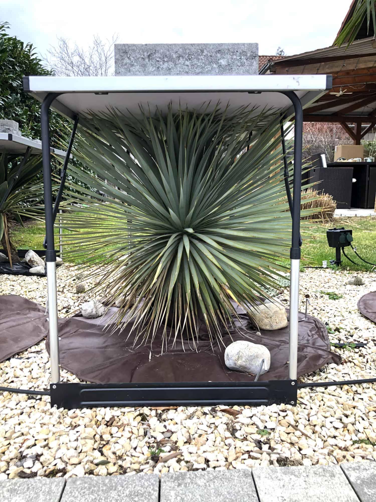 20-02-Yucca rostrata 01