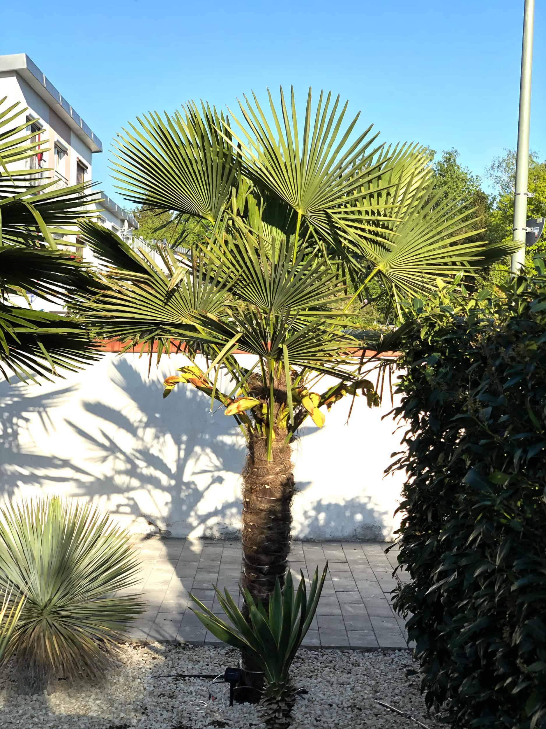20-05-Trachycarpus Fortunei 01