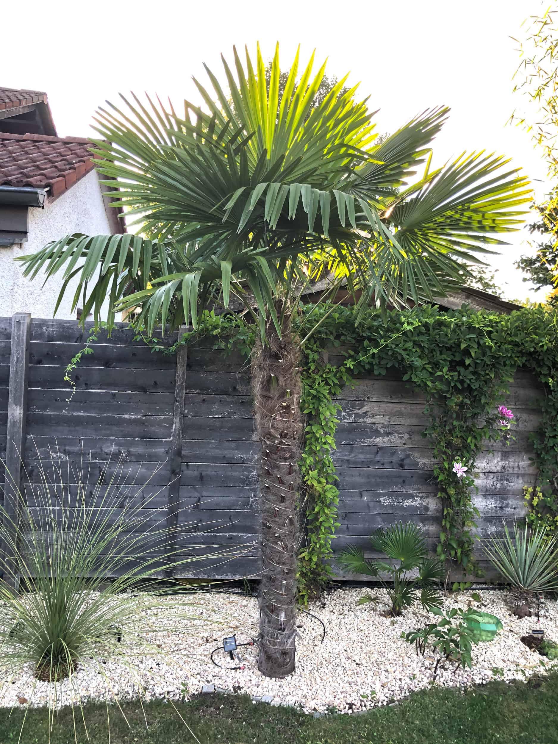 20-09-Trachycarpus Fortunei 03