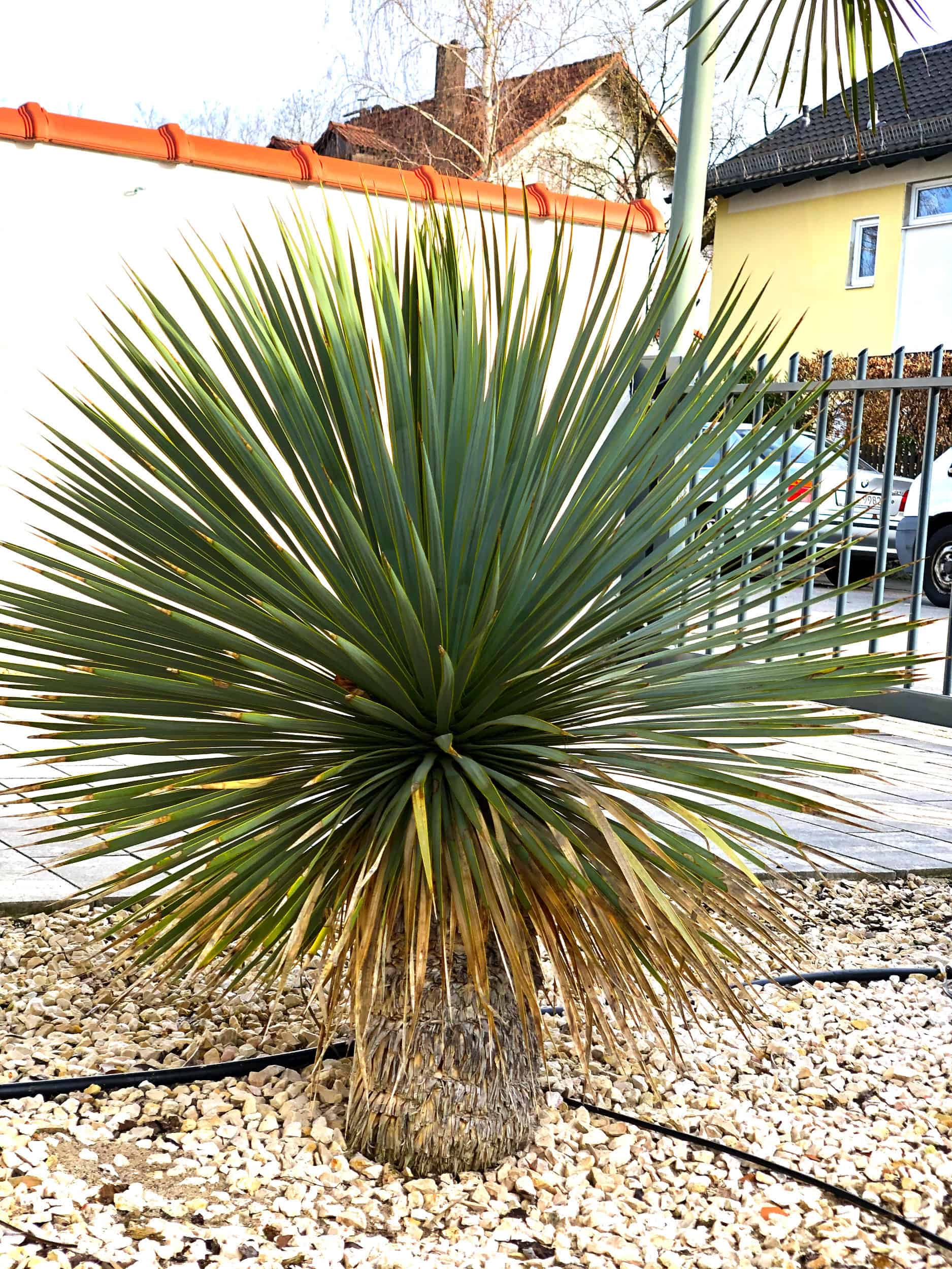 20-03-Yucca rostrata 03