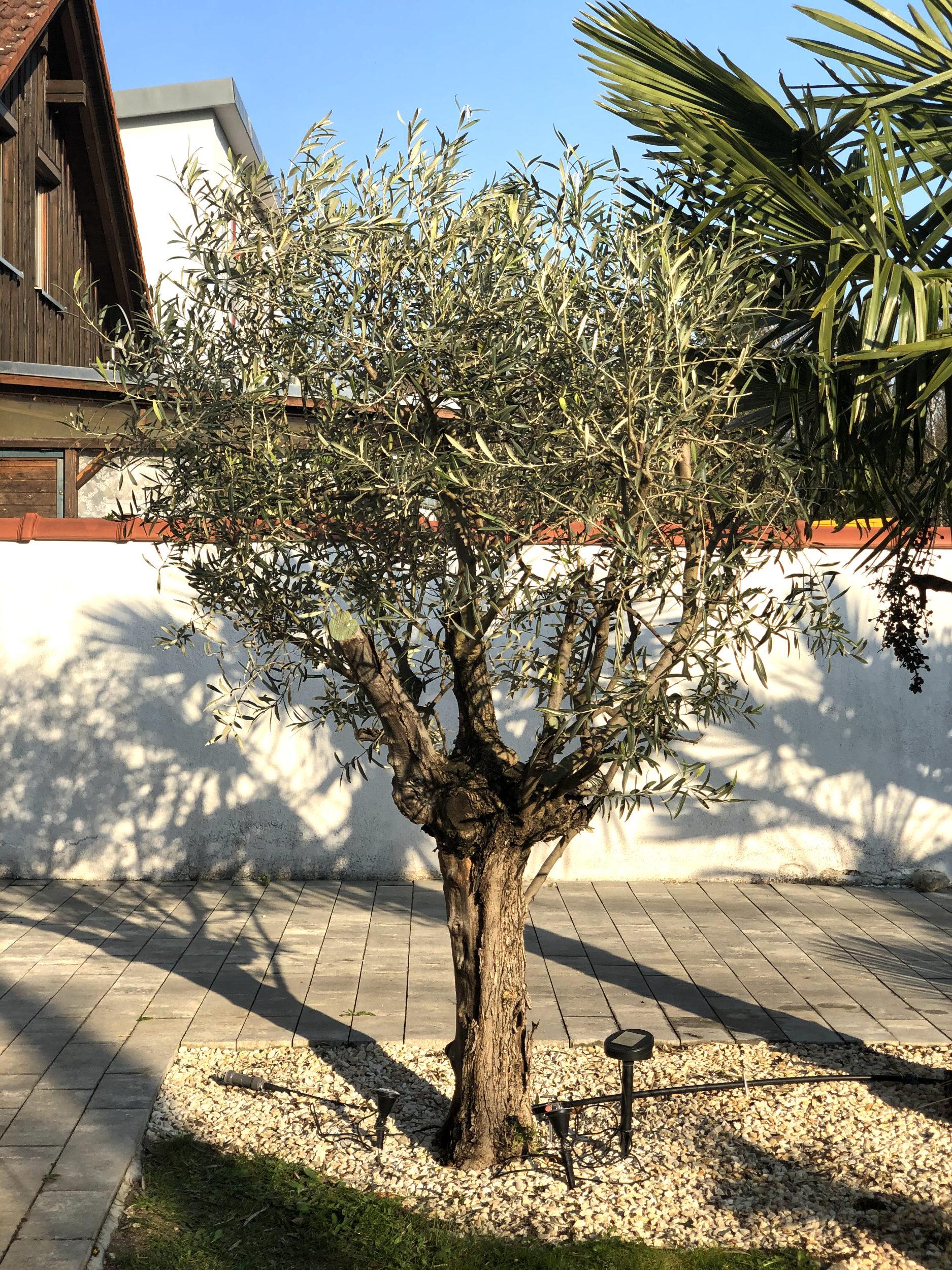 20-04-Olea europaea 'arbequina' 02