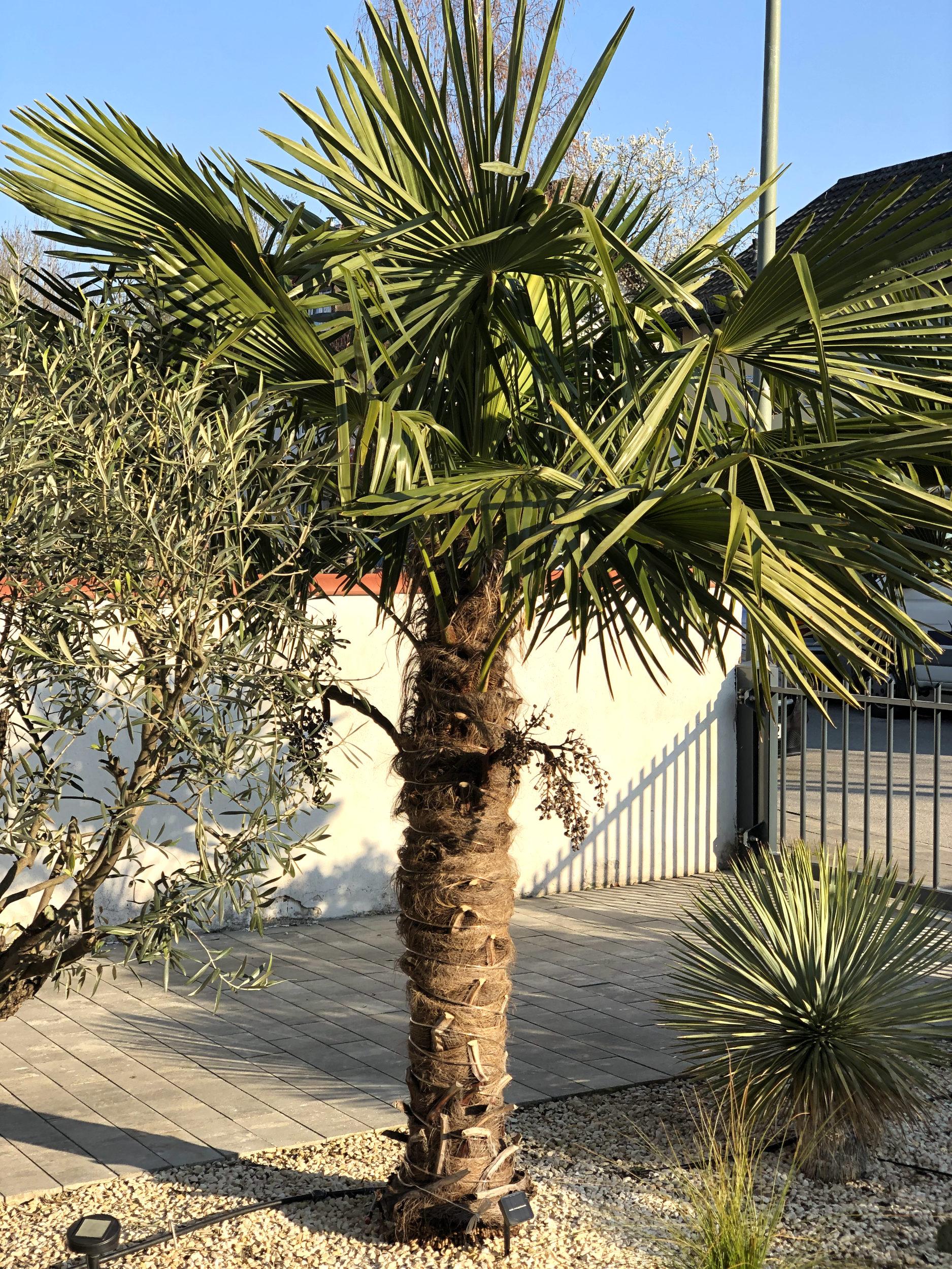 20-04-Trachycarpus Fortunei 01