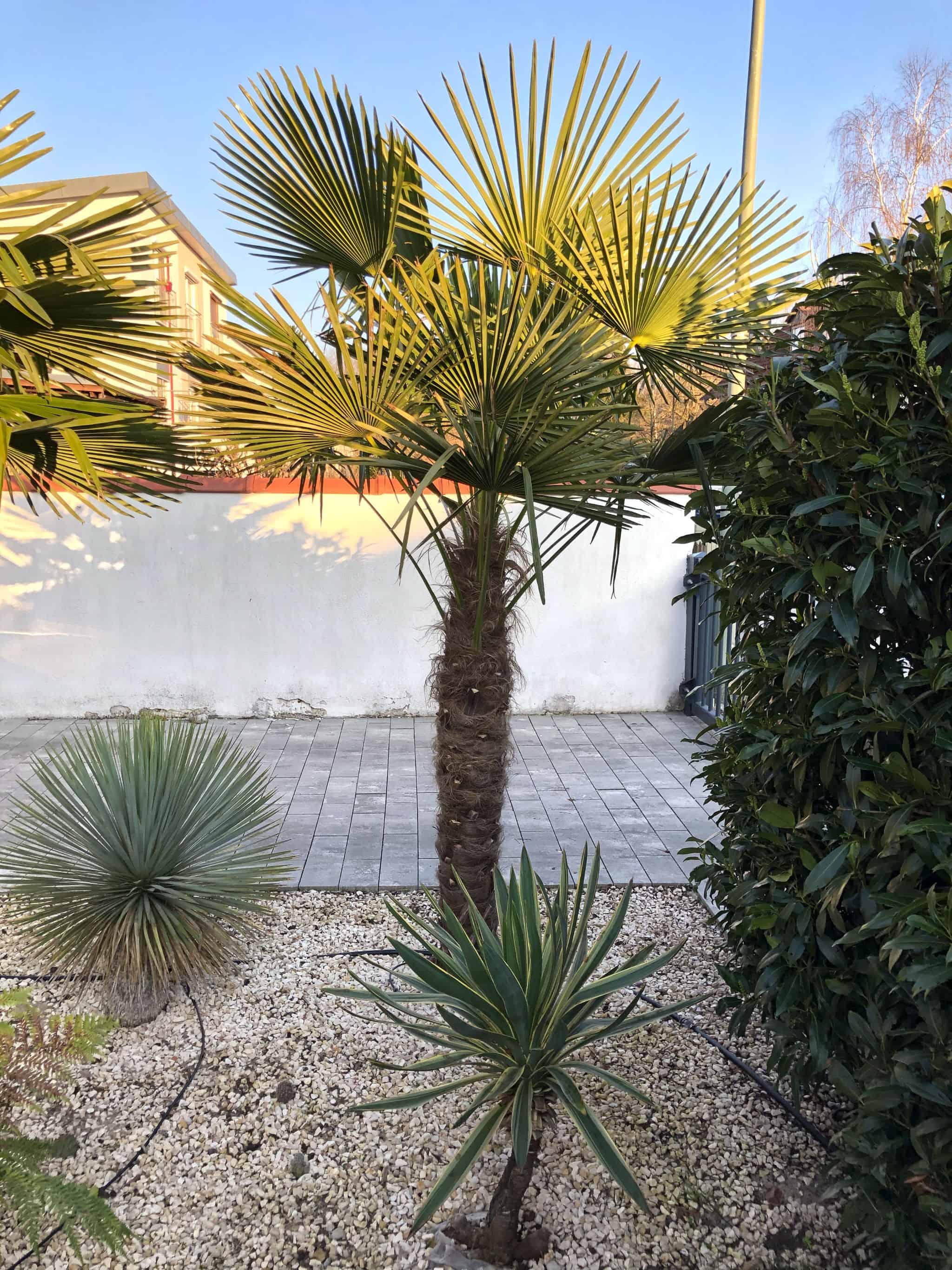 20-03-Trachycarpus Fortunei 02