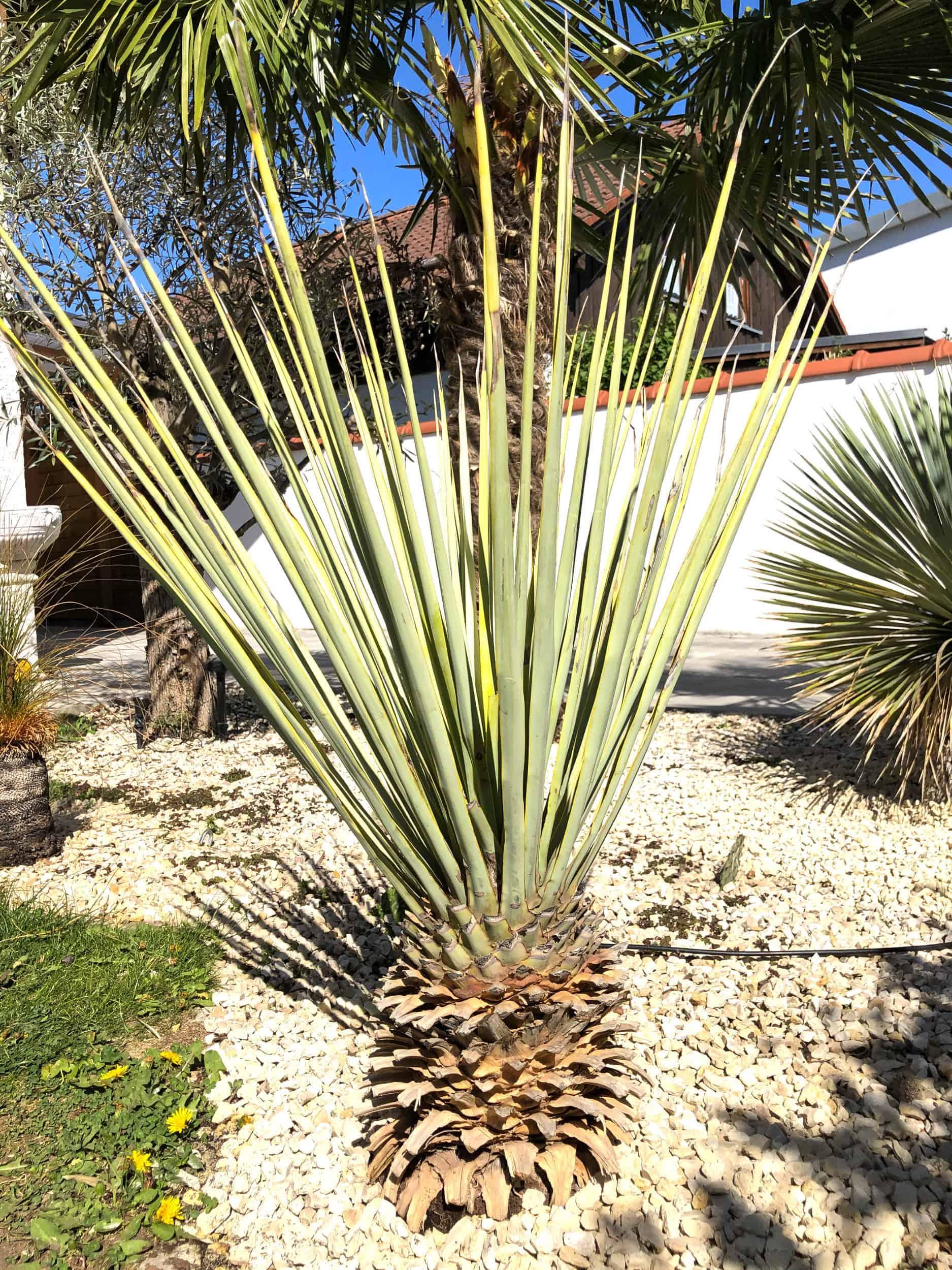 20-04-Yucca rigida 03