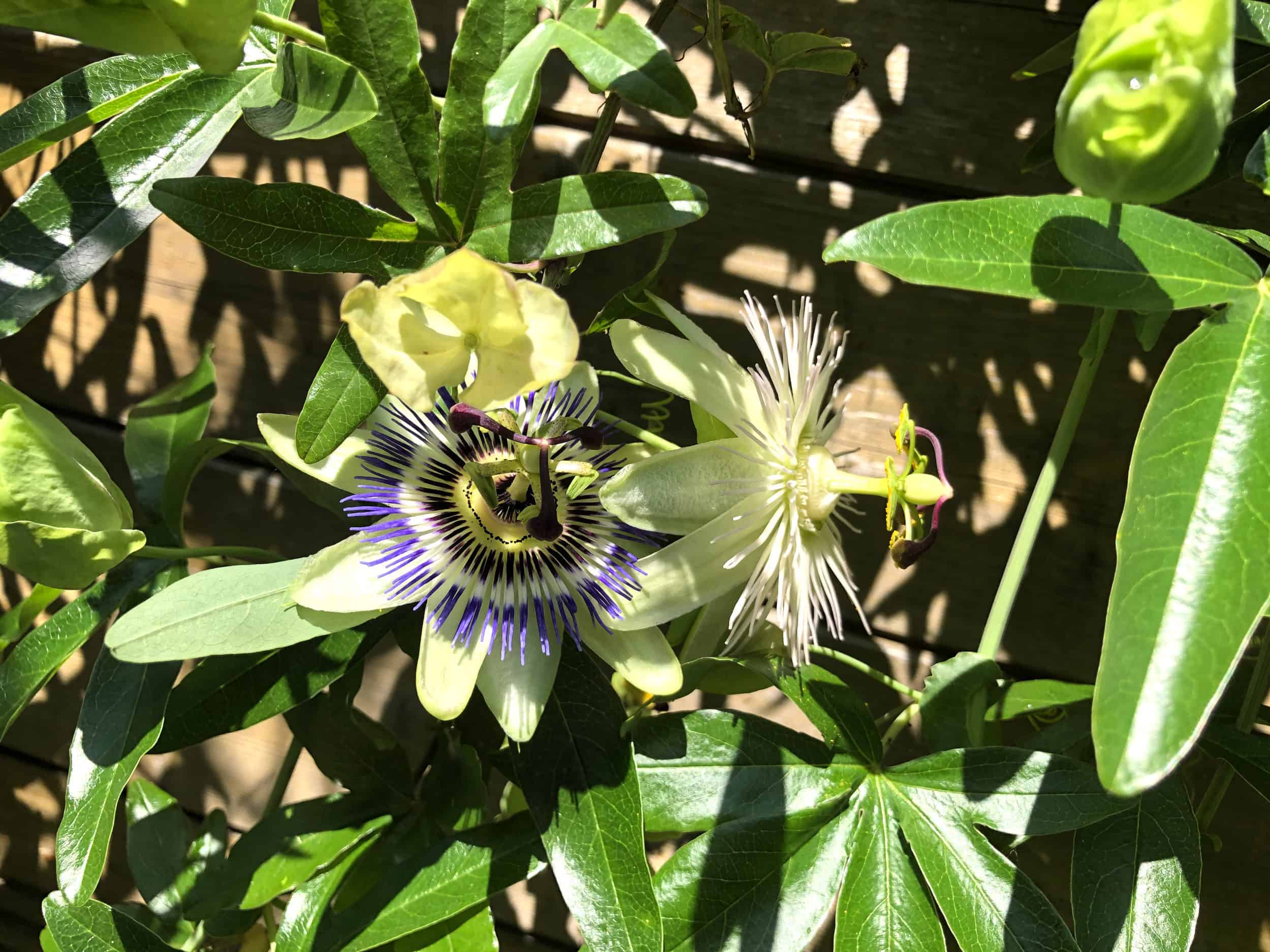 20-06-Passiflora caerula 'Constance Elliot' 01