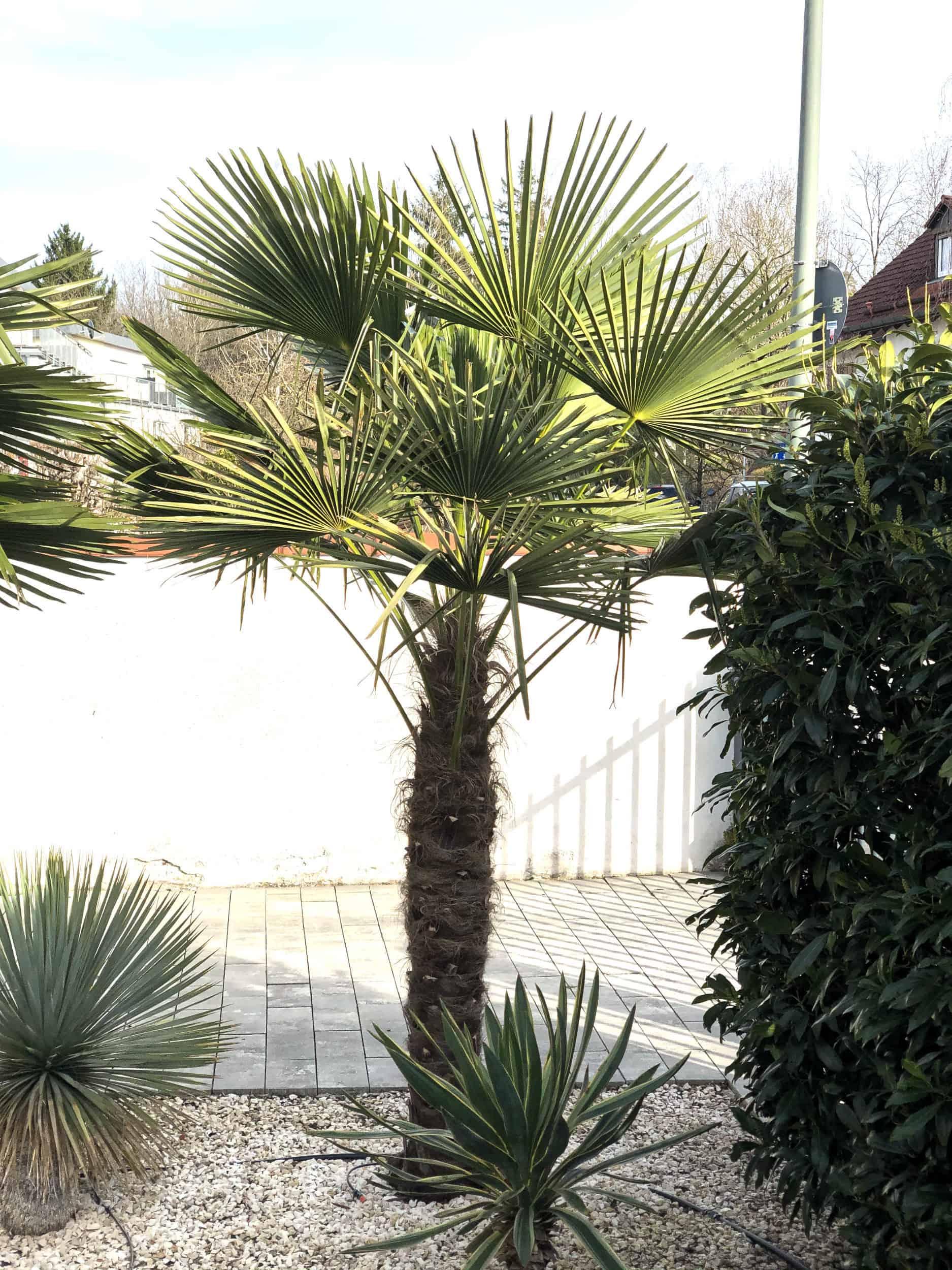 20-03-Trachycarpus Fortunei 05