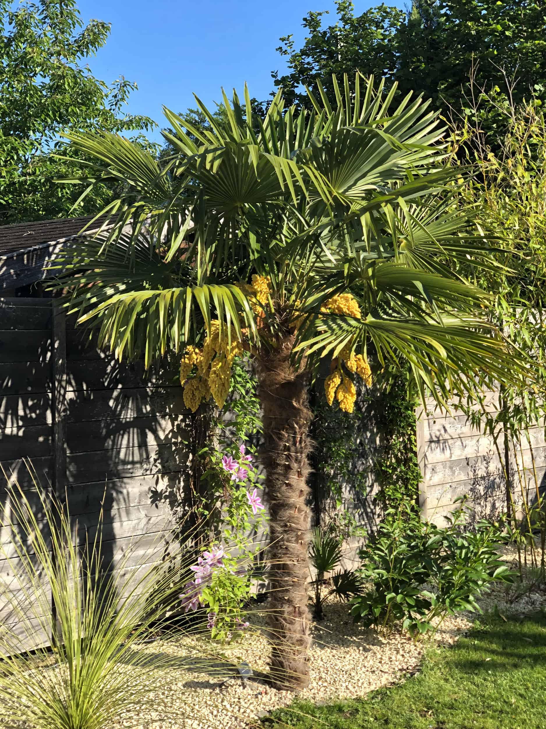 20-05-Trachycarpus Fortunei 03