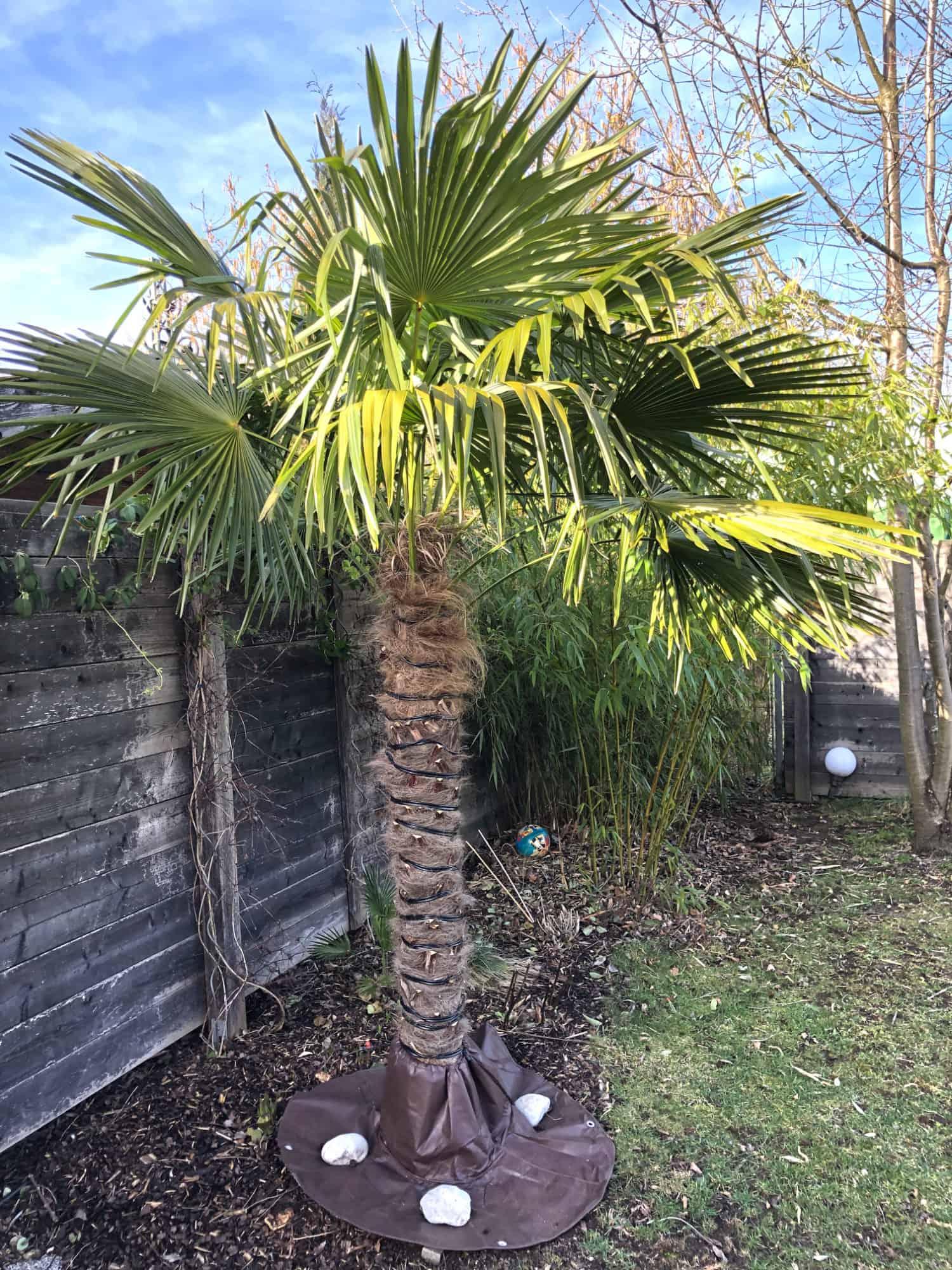 20-02-Trachycarpus Fortunei 01