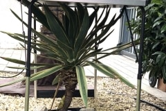 20-02-Yucca gloriosa 01