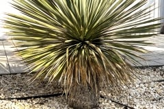 20-04-Yucca rostrata 01